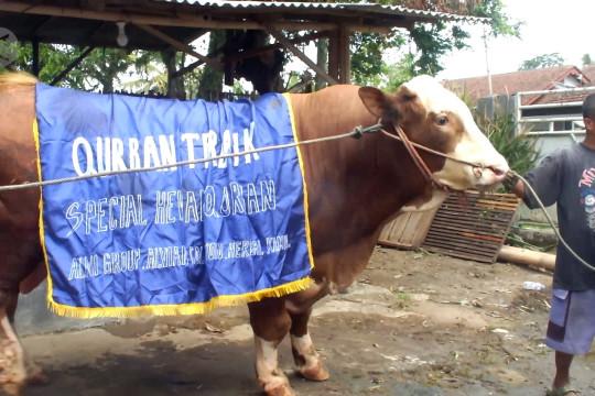 Penjualan sepi, peternak kembangkan sapi dan kambing kontes