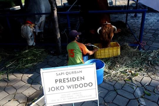 Sapi kurban Presiden Jokowi di Surabaya berbobot 1,2 ton