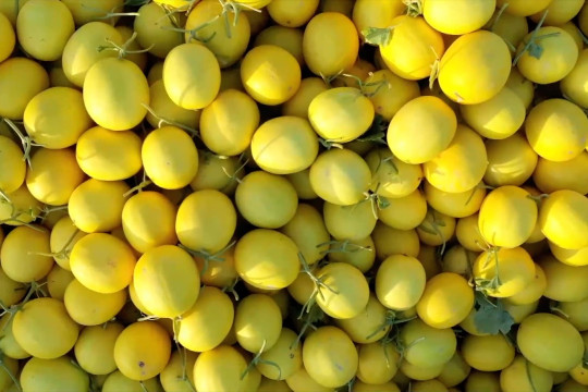 Budi daya melon madu, tingkatkan ekonomi perbaiki ekologi