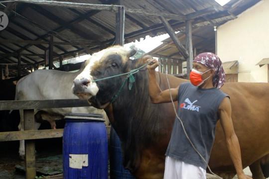Sapi Simental Pegon 1,2 ton, kurban Presiden untuk warga Sumsel