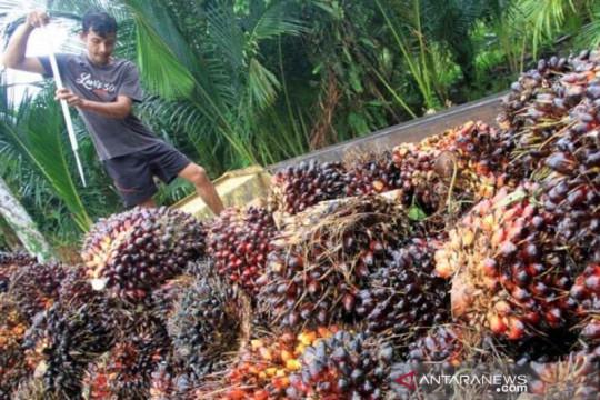Ribuan hektare kebun sawit di Aceh Utara tidak produktif