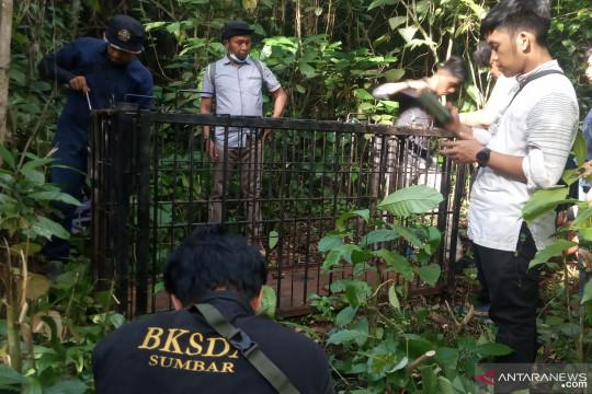 KSDA Agam pasang perangkap evakuasi beruang madu di kebun durian