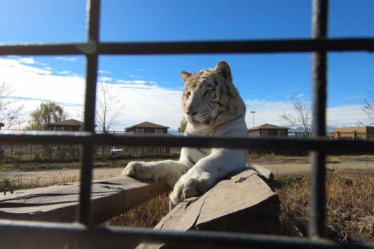 Harimau tewaskan petugas kebersihan taman safari Chile