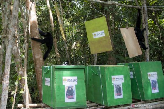 Pelepasliaran tiga ekor Siamang di Sumatera Selatan