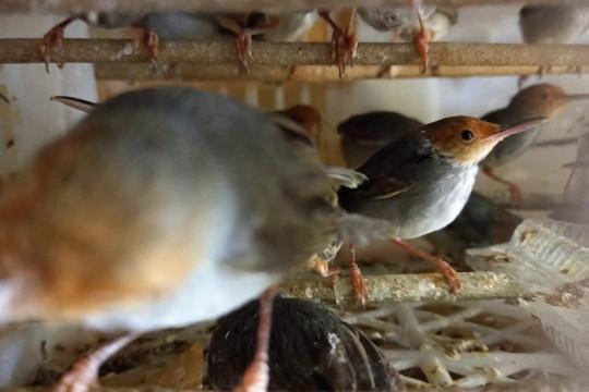 Karantina Pertanian Lampung gagalkan penyelundupan 458 ekor burung