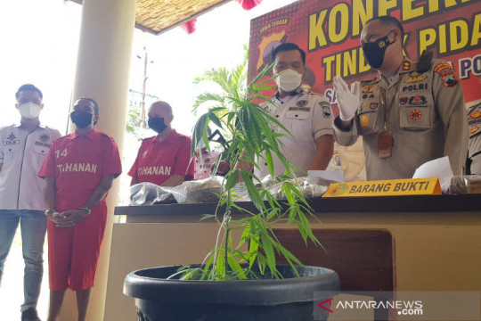 Dua pengedar di Semarang menanam ganja dalam pot