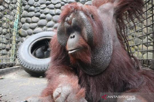 KLHK translokasi dua individu orangutan ke Kaltim pada HUT ke-76 RI