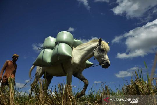 Kuda angkut hasil panen padi di Gowa