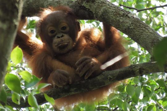 Lewat festival, Borneo Foundation serukan pelestarian orang utan