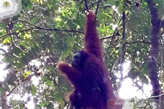 Orang utan asal Sumut dilepasliarkan di Riau