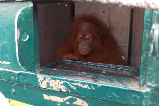BBKSDA Sumut terima pemulangan satu individu orangutan Sumatera