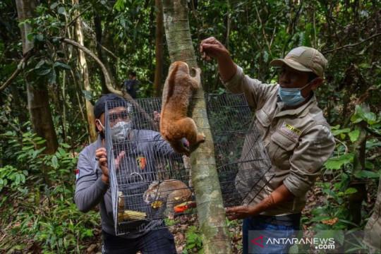 BBKSDA Riau lepasliarkan delapan ekor kukang di hutan konservasi