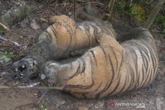 Tiga ekor harimau Sumatera mati diduga akibat terkena jeratan