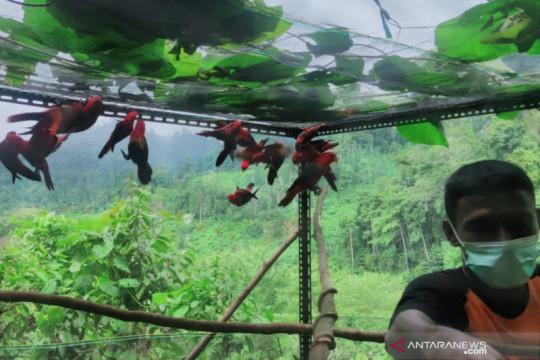 Dilepasliarkan, 25 ekor burung dilindungi di Maluku Utara