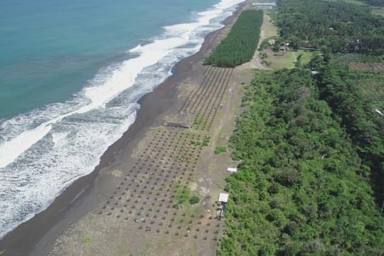 KKP tanam 6.000 bibit cemara laut di Tasikmalaya Jabar