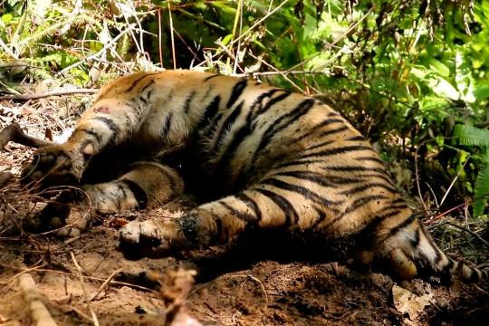 BKSDA Aceh nekropsi bangkai harimau di Aceh Selatan
