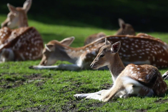 Studi temukan antibodi COVID-19 pada rusa ekor putih di AS