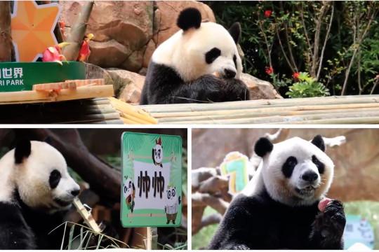 Panda kembar tiga yang kini berusia 7 tahun
