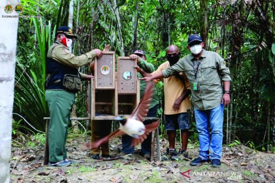 BBKSDA Papua kembalikan 12 satwa ke habitatnya