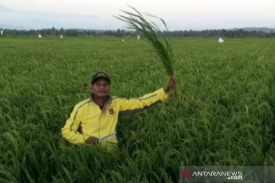 Beras petani belum terserap Bulog NTT