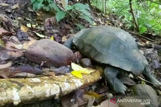 KSDA Agam lepasliar kura-kura langkak ke Cagar Alam Maninjau