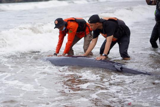 Seekor bayi paus terdampar di Pantai Sine Tulungagung