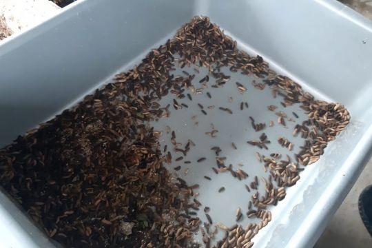 Pemkot Jakbar manfaatkan larva lalat hitam kurangi sampah organik