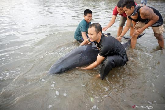 BPSPL: Paus dan lumba-lumba diduga terdampar akibat cuaca buruk