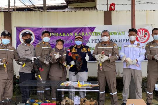 Karantina Pertanian Ternate memusnahkan 50 ekor burung Lovebird