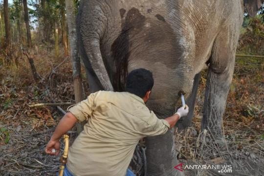 BKSDA Riau obati gajah sakit