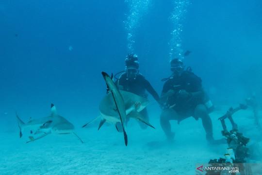 Wisata menyelam bersama hiu di Morotai