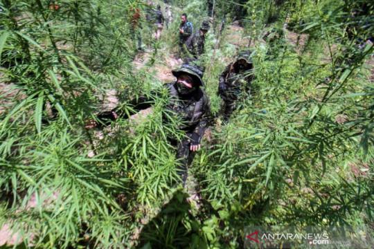 BNN musnahkan belasan ribu batang ganja di Aceh Utara