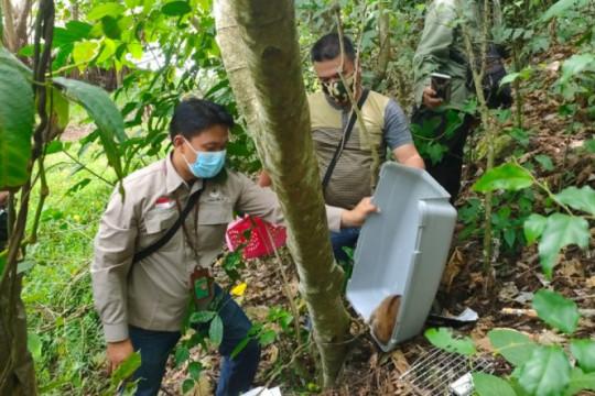 BKSDA Wilayah III Padangsidimpuan lepasliarkan kukang ke Barumun