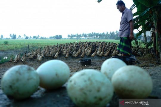 Pinsar : Presiden minta harga pakan jagung ke peternak Rp4.500