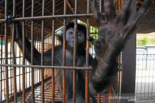 BKSDA Banten amankan Lutung Jawa dan siap dilepasliarkan kembali