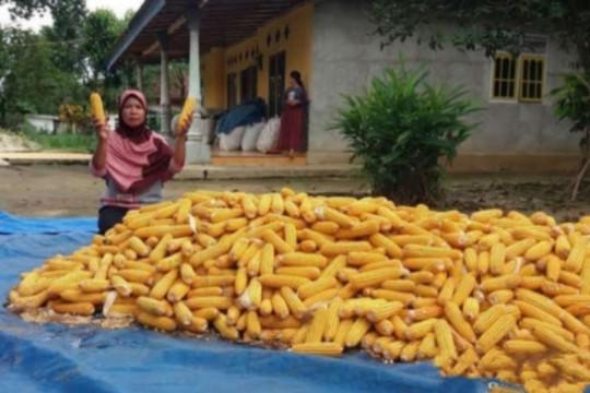 Legislator sarankan pakan ternak gandum atasi tingginya harga jagung