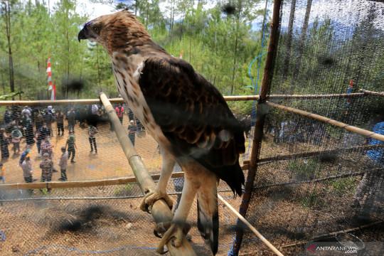 Pelepasliaran burung elang brontok di hutan lindung Takengon
