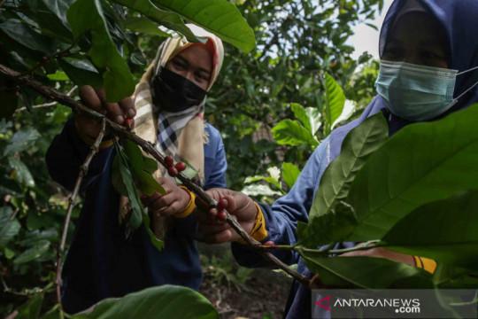 Pemanfaatan lahan gambut tidur untuk perkebunan kopi