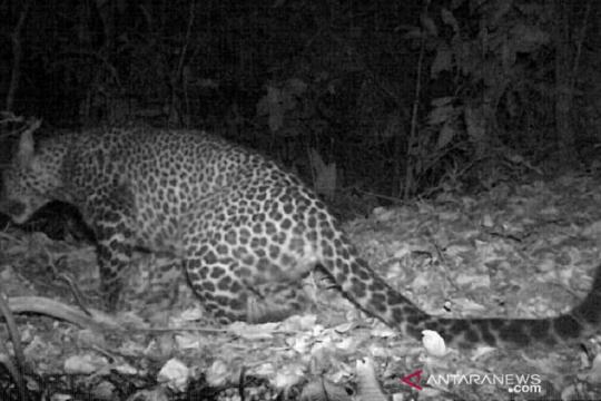 Macan tutul jawa terekam kamera berkeliaran di hutan Sanggabuana