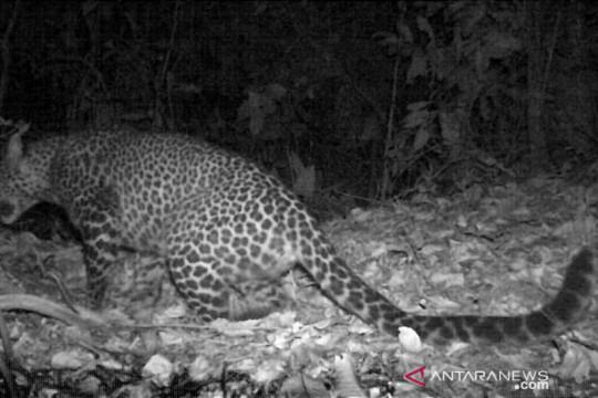Macan tutul yang terekam kamera di Gunung Sanggabuana kelamin betina