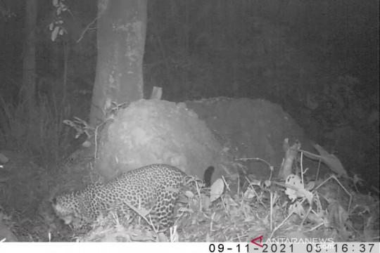 Terekamnya macan tutul jawa di Gunung Sanggabuana dianggap kabar baik