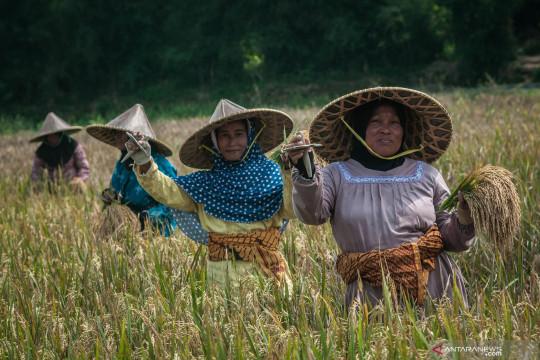 Penggunaan alat potong tradisional untuk panen padi