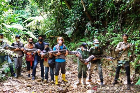 BBKSDA Riau lepasliarkan ular piton dengan panjang 9 meter