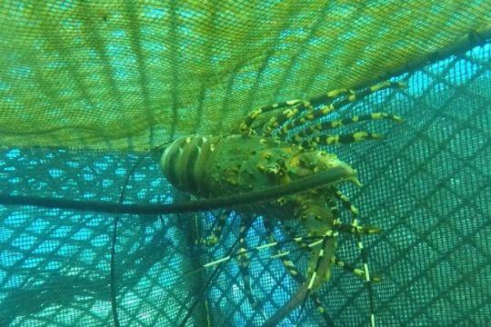 KKP minta pembudidaya lobster di Sumbawa lengkapi perizinan berusaha