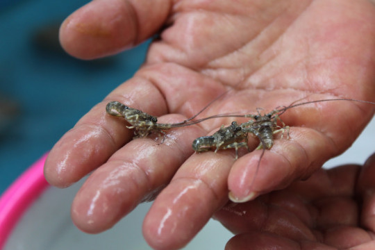 Yusril minta Mahkamah Agung batalkan larangan ekspor benih lobster