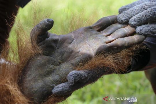 Evakuasi dua Orangutan yang terisolir di perkebunan sawit