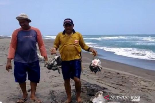 Warga Cianjur temukan bangkai hiu paus tutul terdampar di pantai