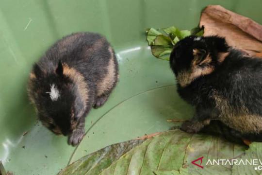 BKSDA Bengkulu terima dua kelinci Sumatera dari warga