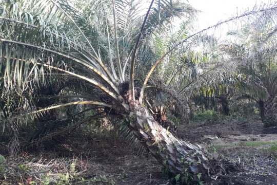 Harga CPO tinggi, sejumlah petani batal ikuti program peremajaan sawit