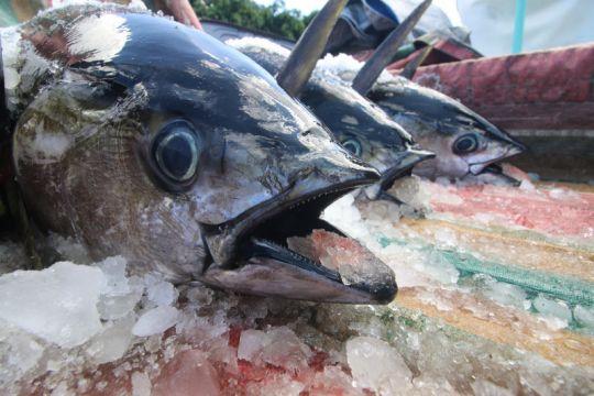 KKP luncurkan DIVA Tuna tingkatkan transparansi data kapal ikan